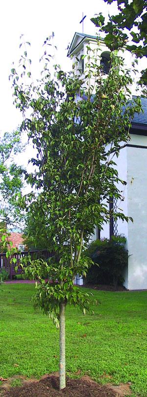 Heimbach Dogwood Tree