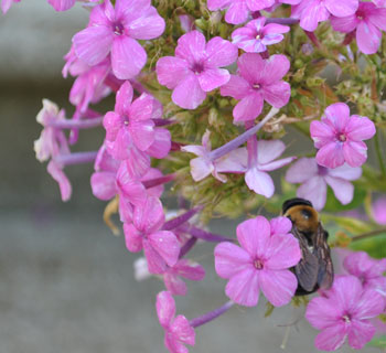 Bee in Phlox